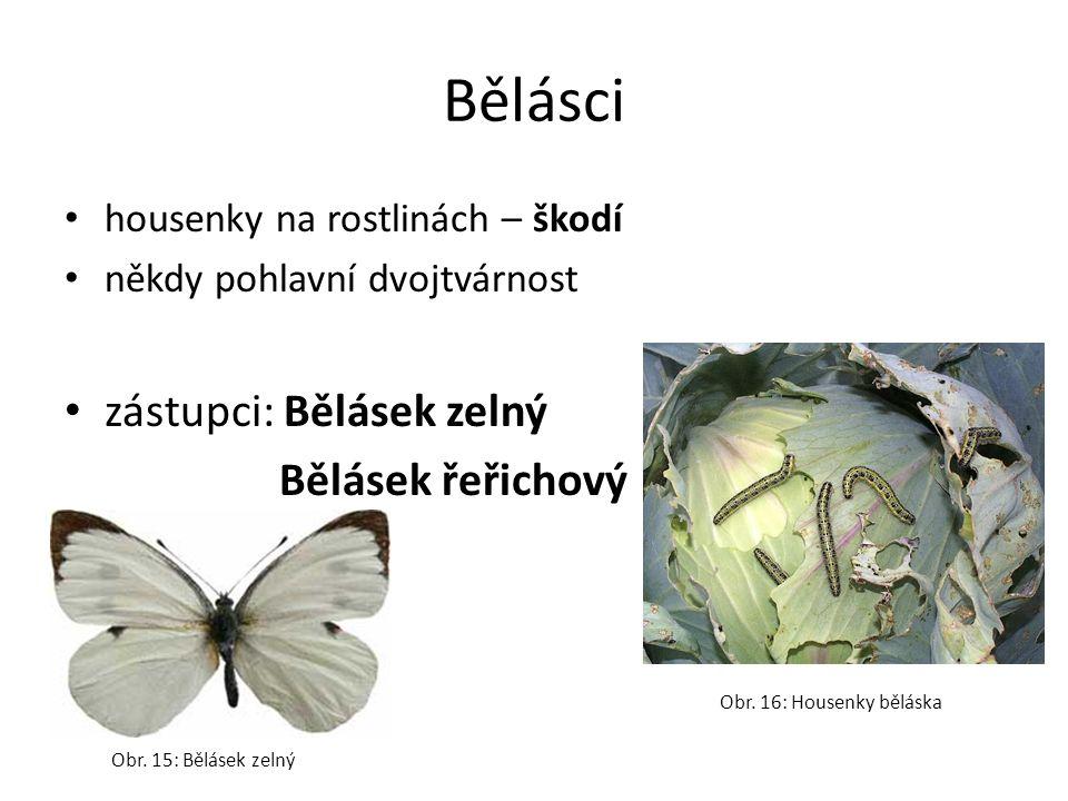 Bělásci zástupci: Bělásek zelný Bělásek řeřichový