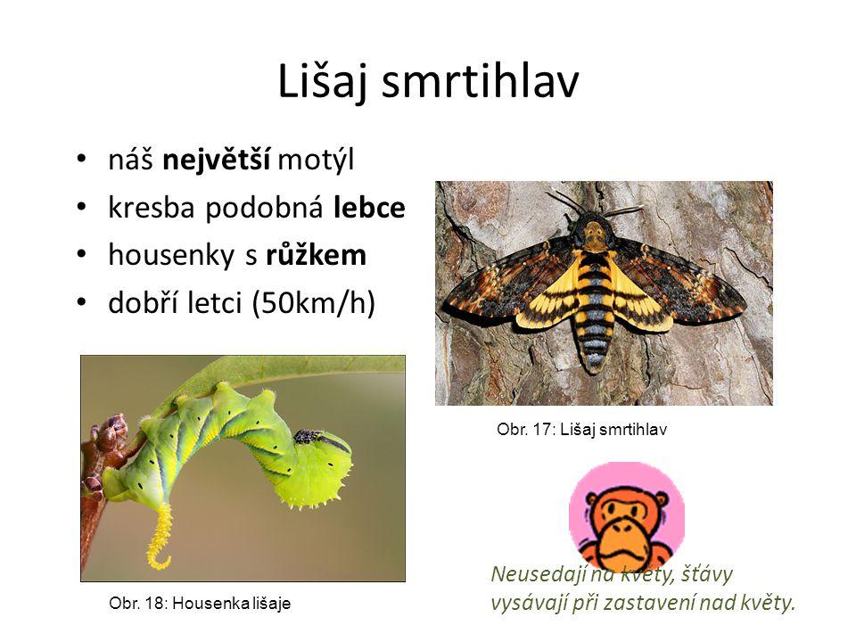 Lišaj smrtihlav náš největší motýl kresba podobná lebce