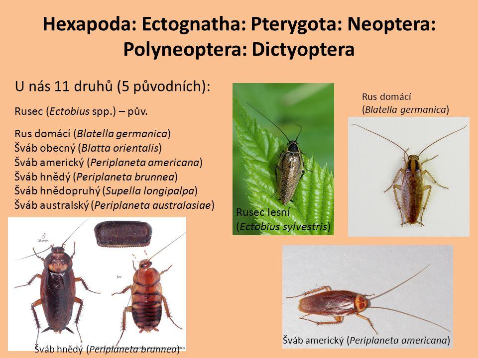 Hexapoda: Ectognatha: Pterygota: Neoptera: Polyneoptera: Dictyoptera