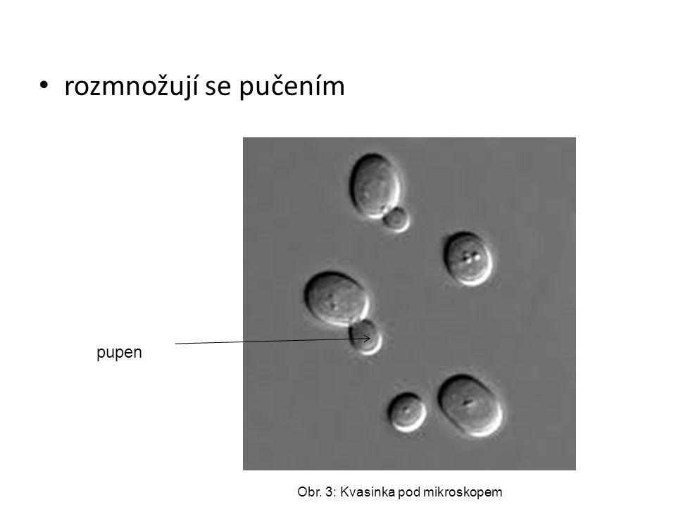 rozmnožují se pučením pupen Obr. 3: Kvasinka pod mikroskopem