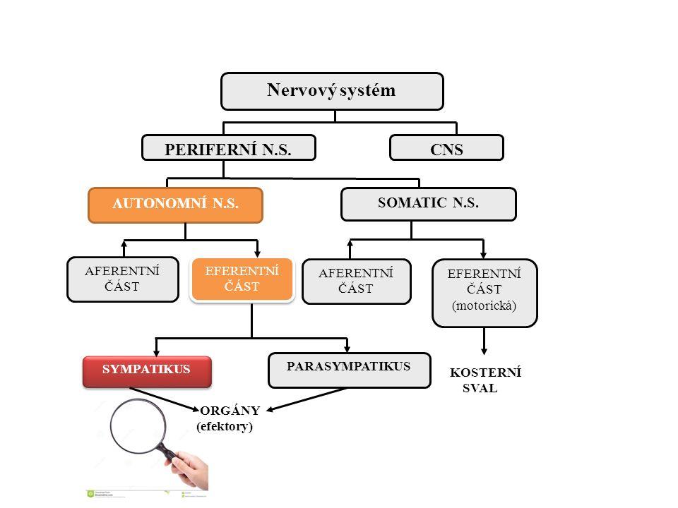 Nervový systém PERIFERNÍ N.S. CNS AUTONOMNÍ N.S. SOMATIC N.S.