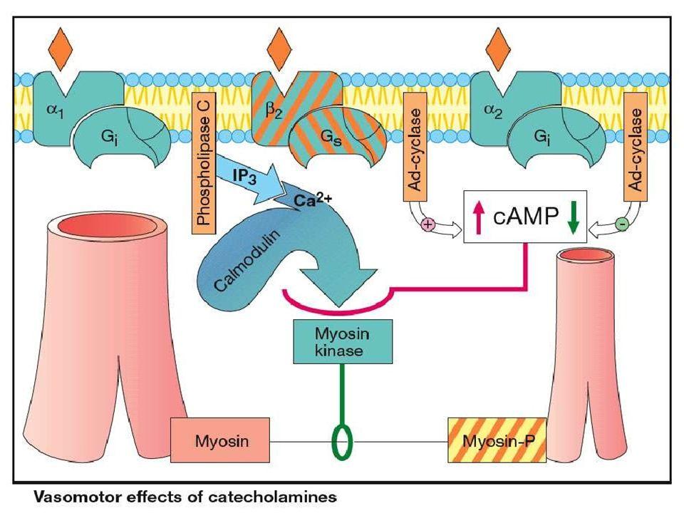 β1 jen postsynaptická lokalizace u adrenergních nervů