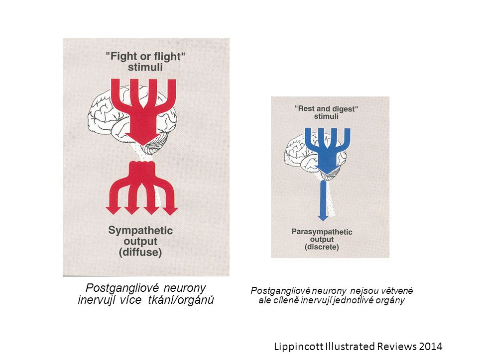 Postgangliové neurony inervují více tkání/orgánů