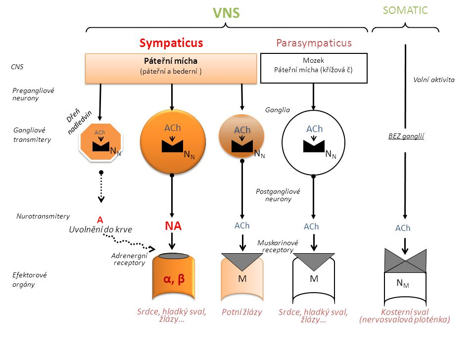 VNS Sympaticus α, β SOMATIC Parasympaticus NN NN NN NN A M M NM