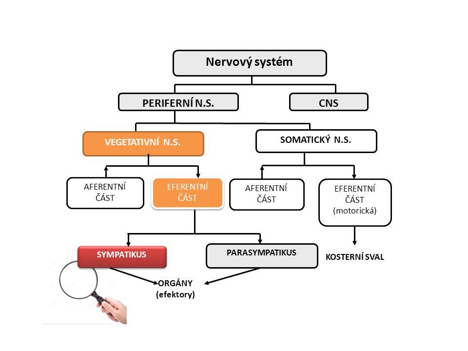 Nervový systém PERIFERNÍ N.S. CNS SOMATICKÝ N.S. VEGETATIVNÍ N.S.