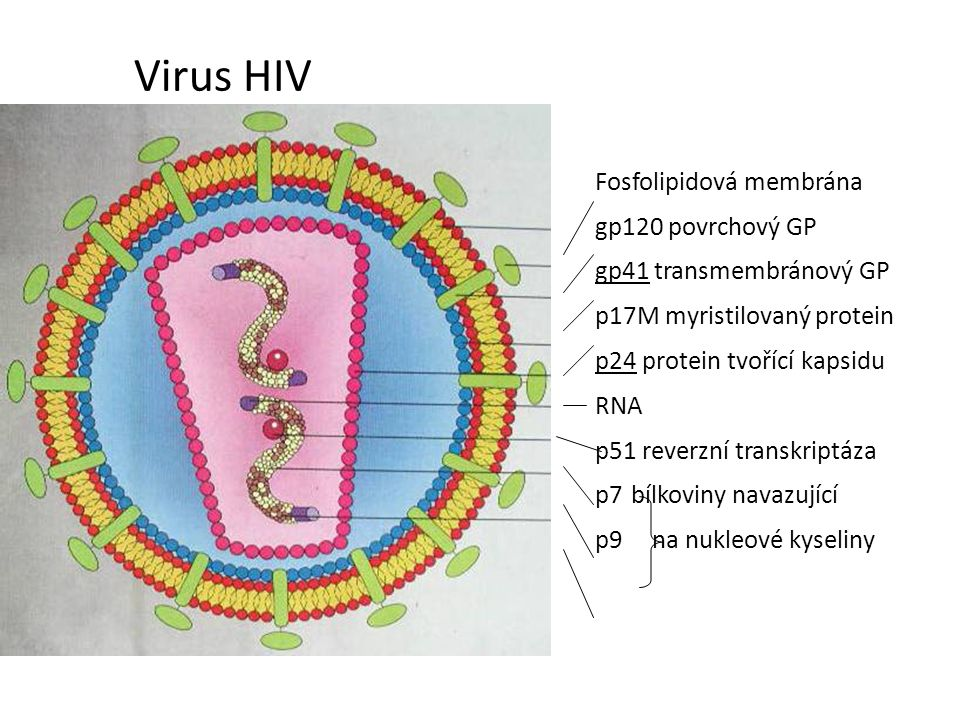 Virus HIV Fosfolipidová membrána gp120 povrchový GP