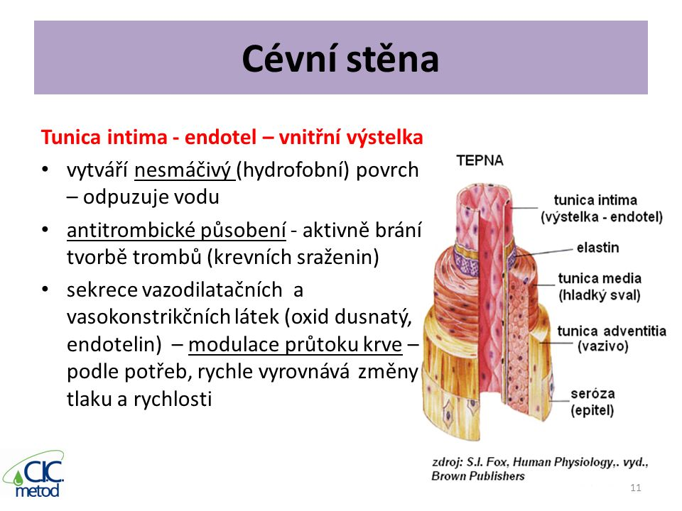 Cévní stěna Tunica intima - endotel – vnitřní výstelka