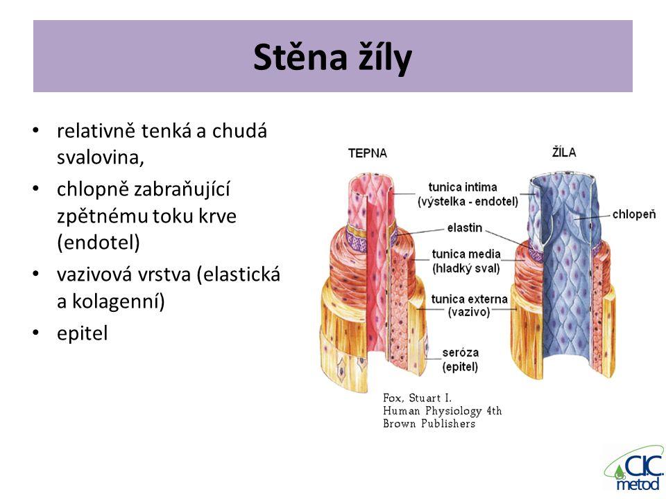 Stěna žíly relativně tenká a chudá svalovina,