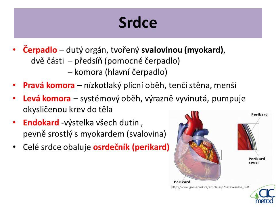 Srdce Čerpadlo – dutý orgán, tvořený svalovinou (myokard),