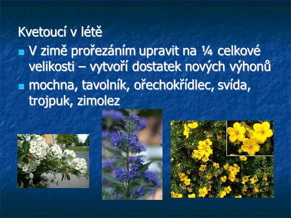 Kvetoucí v létě V zimě prořezáním upravit na ¼ celkové velikosti – vytvoří dostatek nových výhonů.