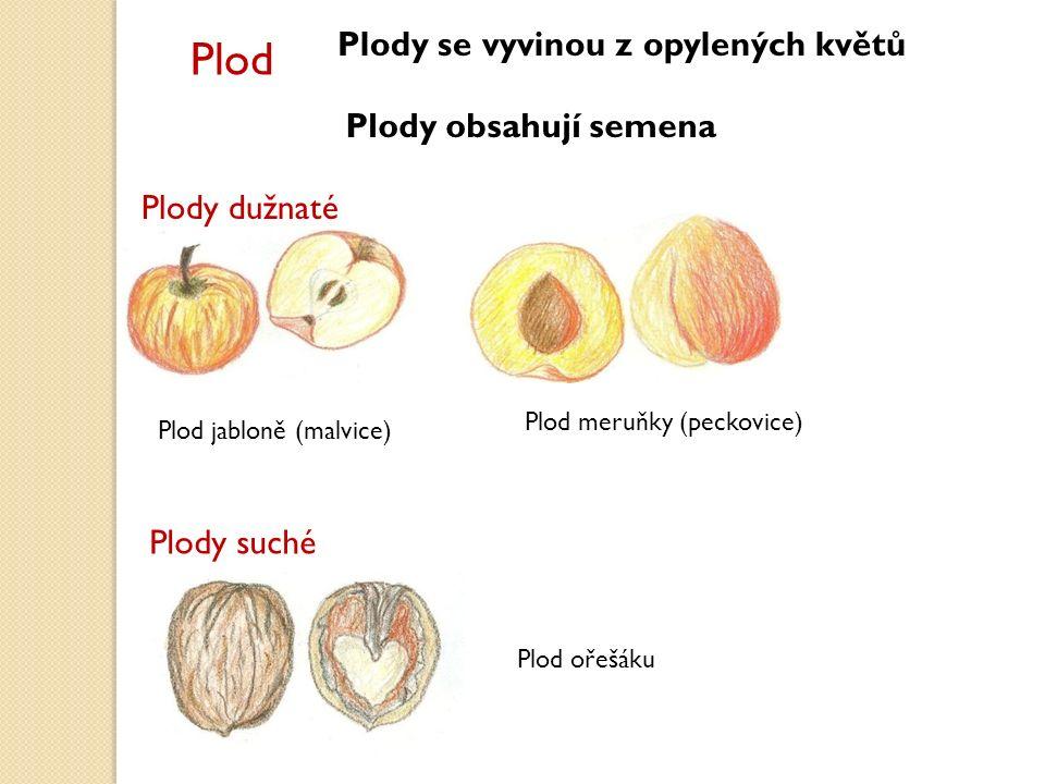 Plod Plody se vyvinou z opylených květů Plody obsahují semena