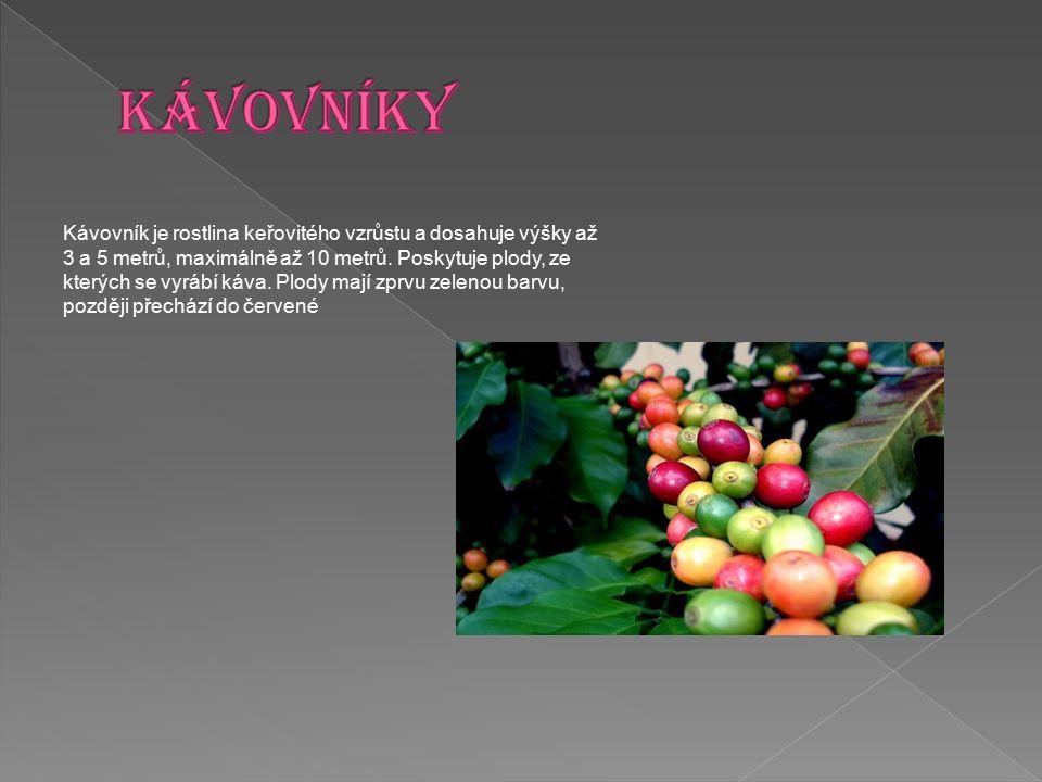 KÁVOVNÍKY Kávovník je rostlina keřovitého vzrůstu a dosahuje výšky až