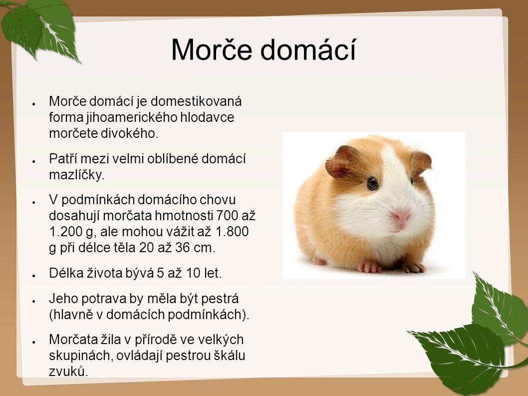 Morče domácí Morče domácí je domestikovaná forma jihoamerického hlodavce morčete divokého. Patří mezi velmi oblíbené domácí mazlíčky.