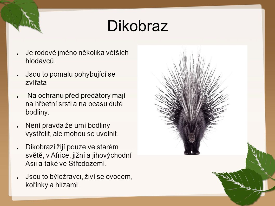 Dikobraz Je rodové jméno několika větších hlodavců.