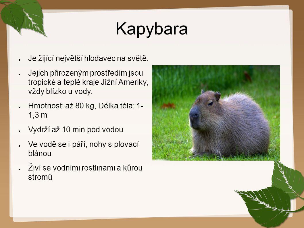 Kapybara Je žijící největší hlodavec na světě.