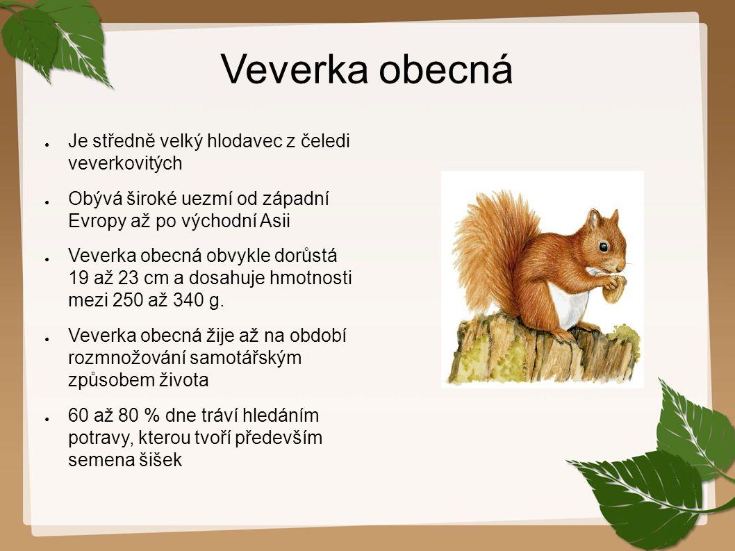 Veverka obecná Je středně velký hlodavec z čeledi veverkovitých