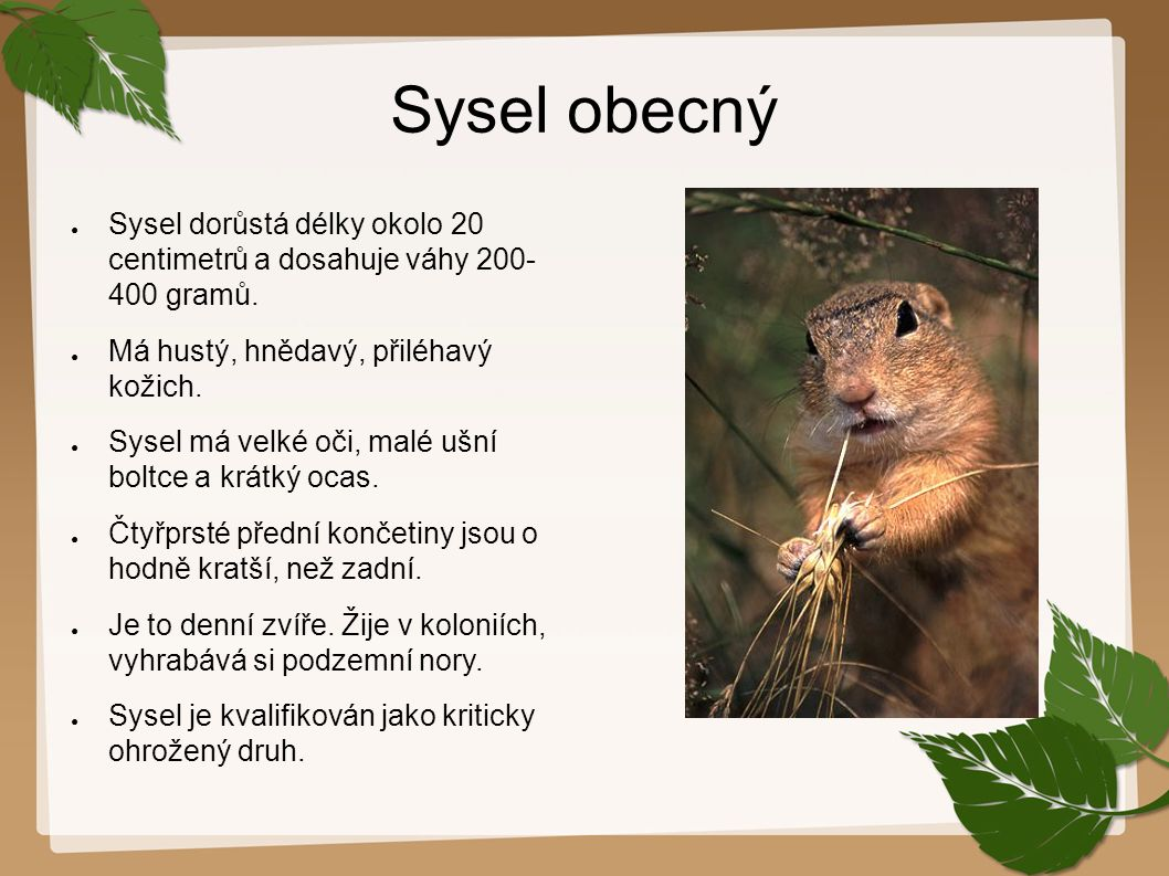 Sysel obecný Sysel dorůstá délky okolo 20 centimetrů a dosahuje váhy 200-400 gramů. Má hustý, hnědavý, přiléhavý kožich.