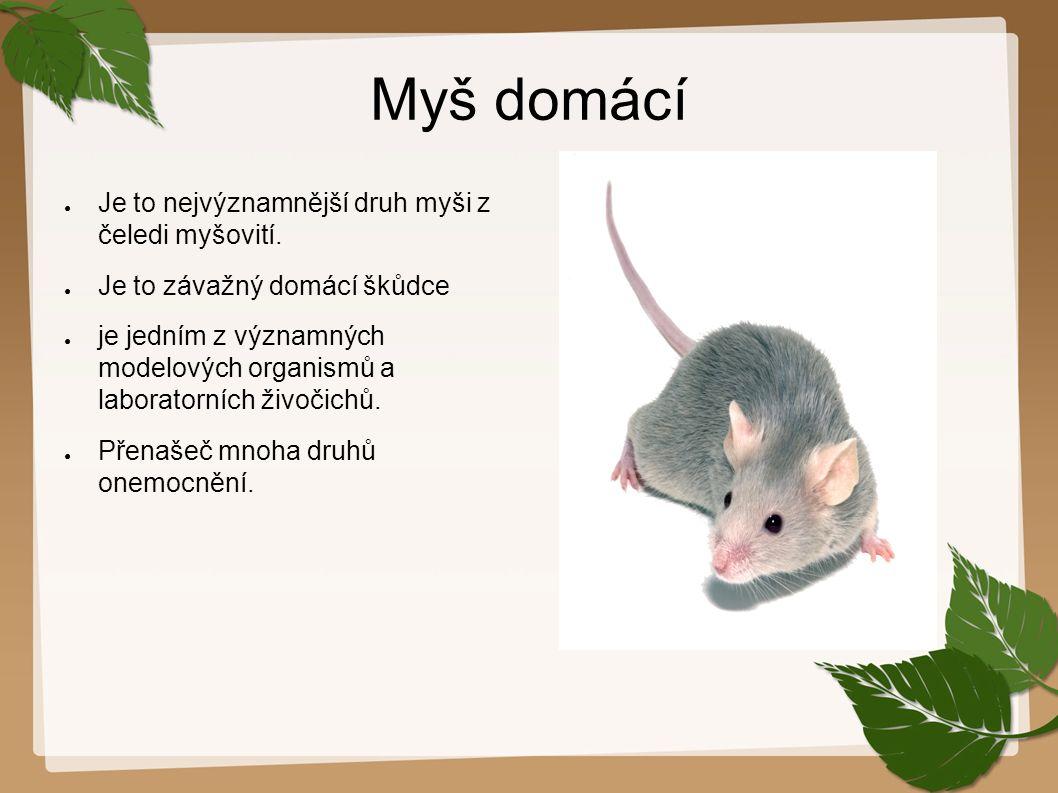 Myš domácí Je to nejvýznamnější druh myši z čeledi myšovití.