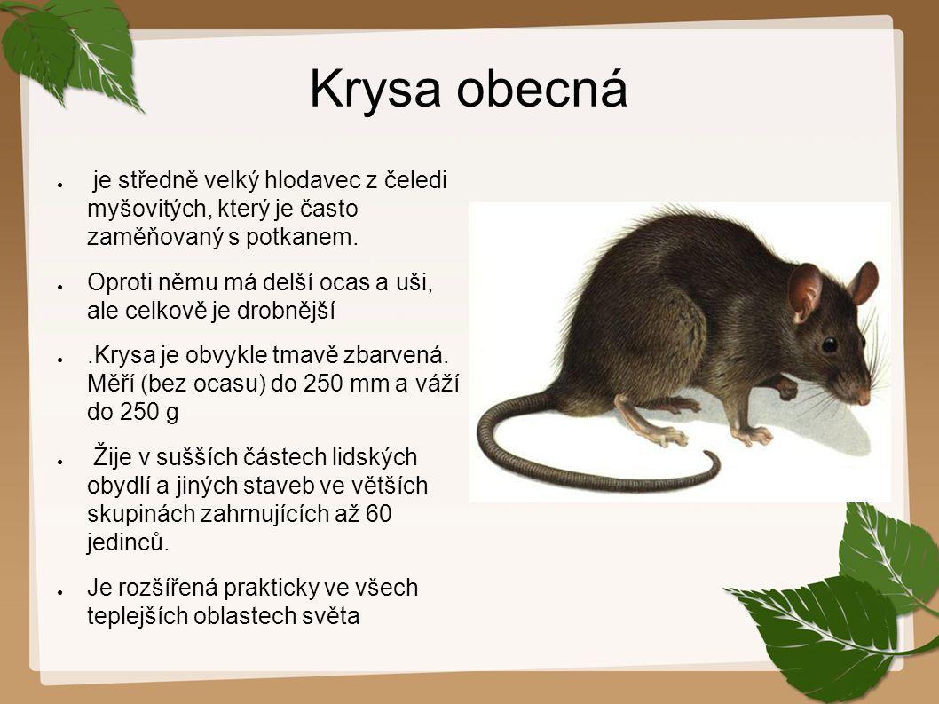 Krysa obecná je středně velký hlodavec z čeledi myšovitých, který je často zaměňovaný s potkanem.