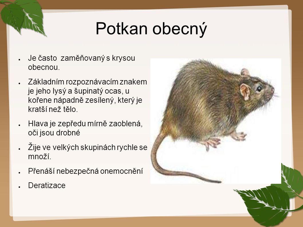 Potkan obecný Je často zaměňovaný s krysou obecnou.