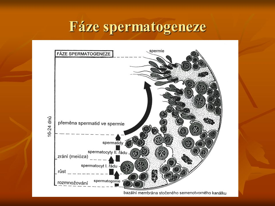 Fáze spermatogeneze
