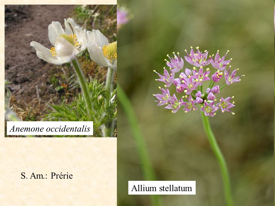 Allium stellatum Anemone occidentalis S. Am.: Prérie