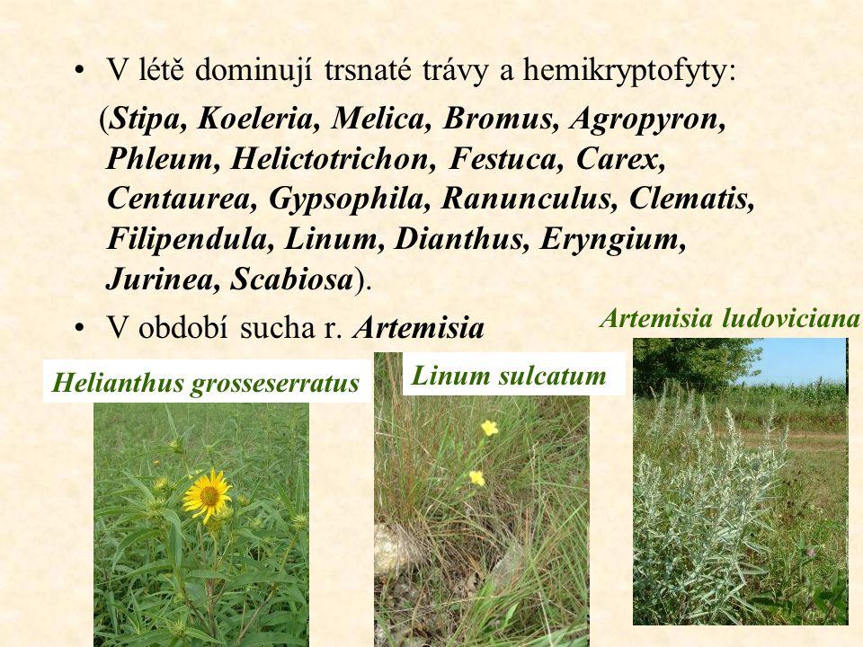 V létě dominují trsnaté trávy a hemikryptofyty:
