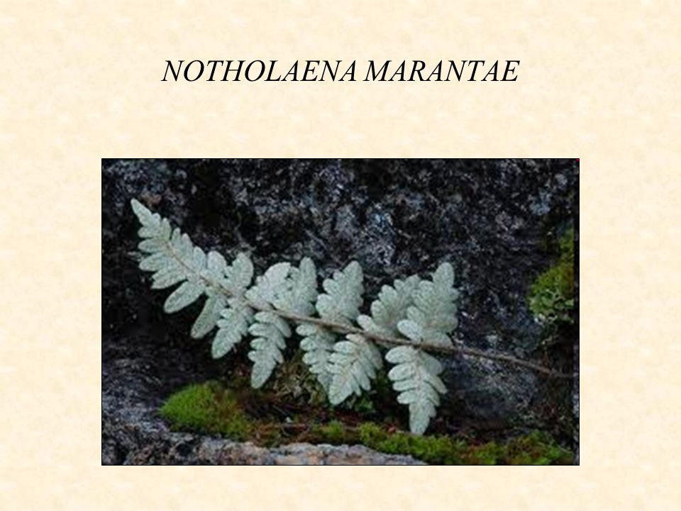 NOTHOLAENA MARANTAE