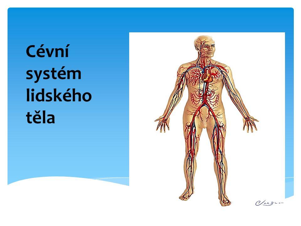 Cévní systém lidského těla