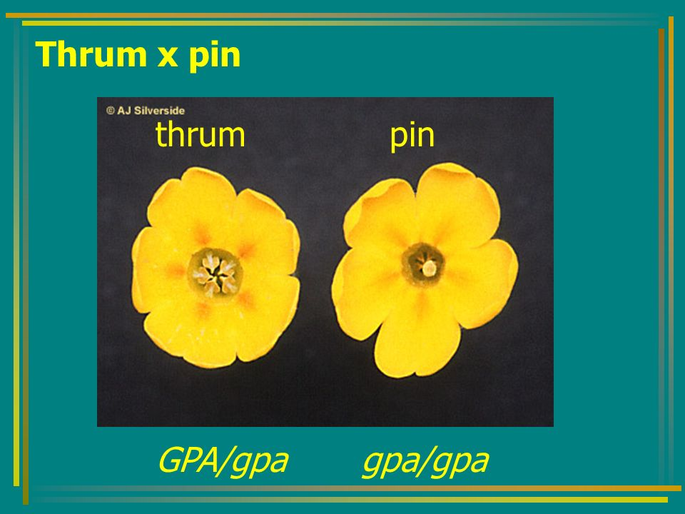 Thrum x pin thrum pin GPA/gpa gpa/gpa
