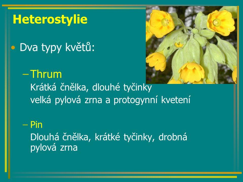 Heterostylie Dva typy květů: Thrum Krátká čnělka, dlouhé tyčinky