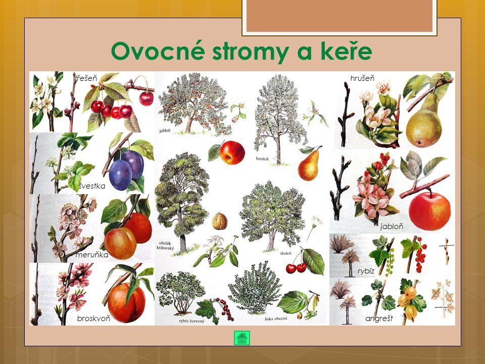 Ovocné stromy a keře třešeň hrušeň švestka jabloň meruňka rybíz