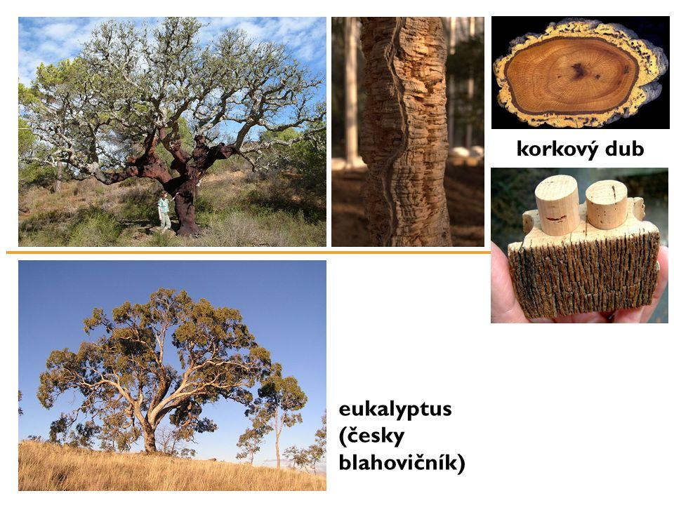 korkový dub eukalyptus (česky blahovičník)