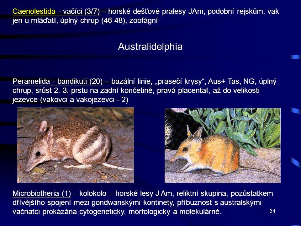 Caenolestida - vačíci (3/7) – horské dešťové pralesy JAm, podobní rejskům, vak jen u mláďat!, úplný chrup (46-48), zoofágní