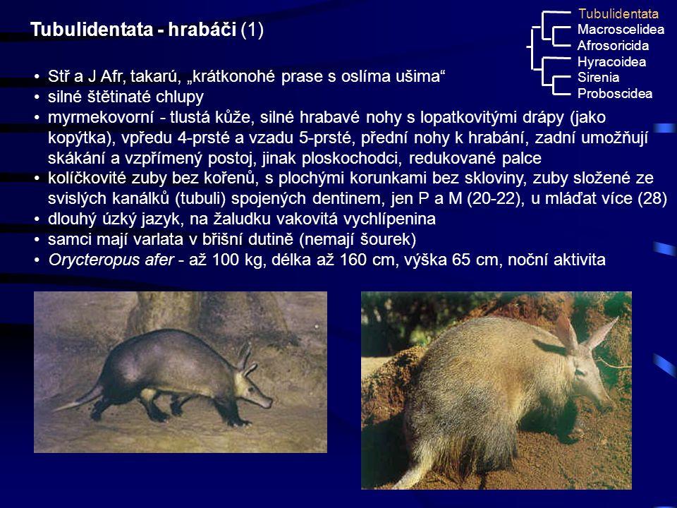 Tubulidentata - hrabáči (1)