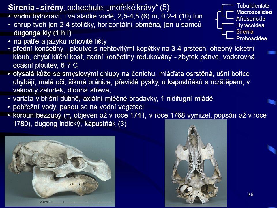 """Sirenia - sirény, ochechule, """"mořské krávy (5)"""