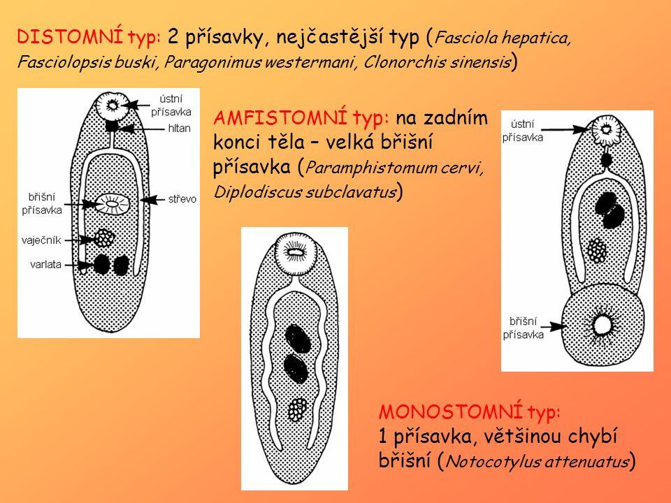 1 přísavka, většinou chybí břišní (Notocotylus attenuatus)