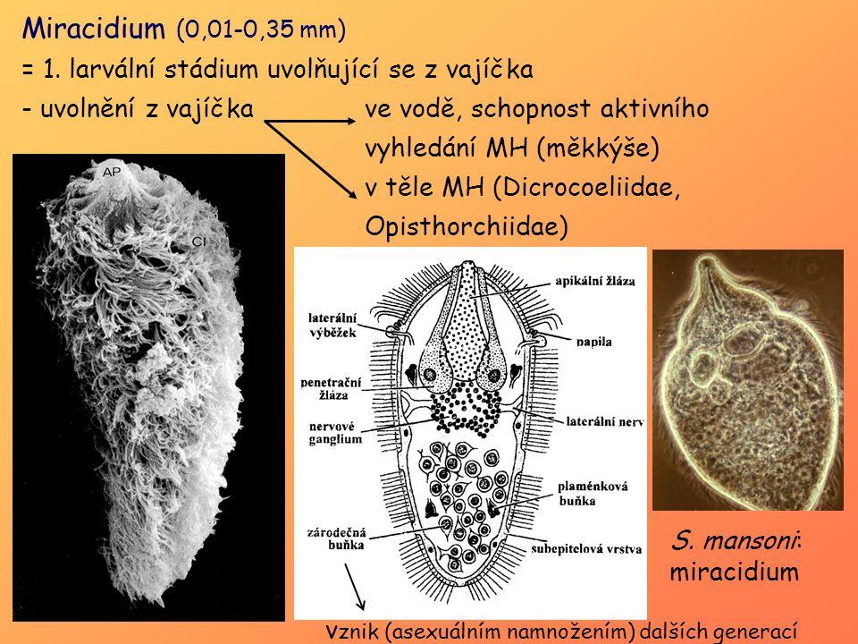 Miracidium (0,01-0,35 mm) = 1. larvální stádium uvolňující se z vajíčka.