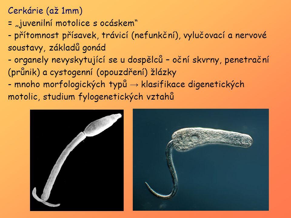 """Cerkárie (až 1mm) = """"juvenilní motolice s ocáskem přítomnost přísavek, trávicí (nefunkční), vylučovací a nervové soustavy, základů gonád."""