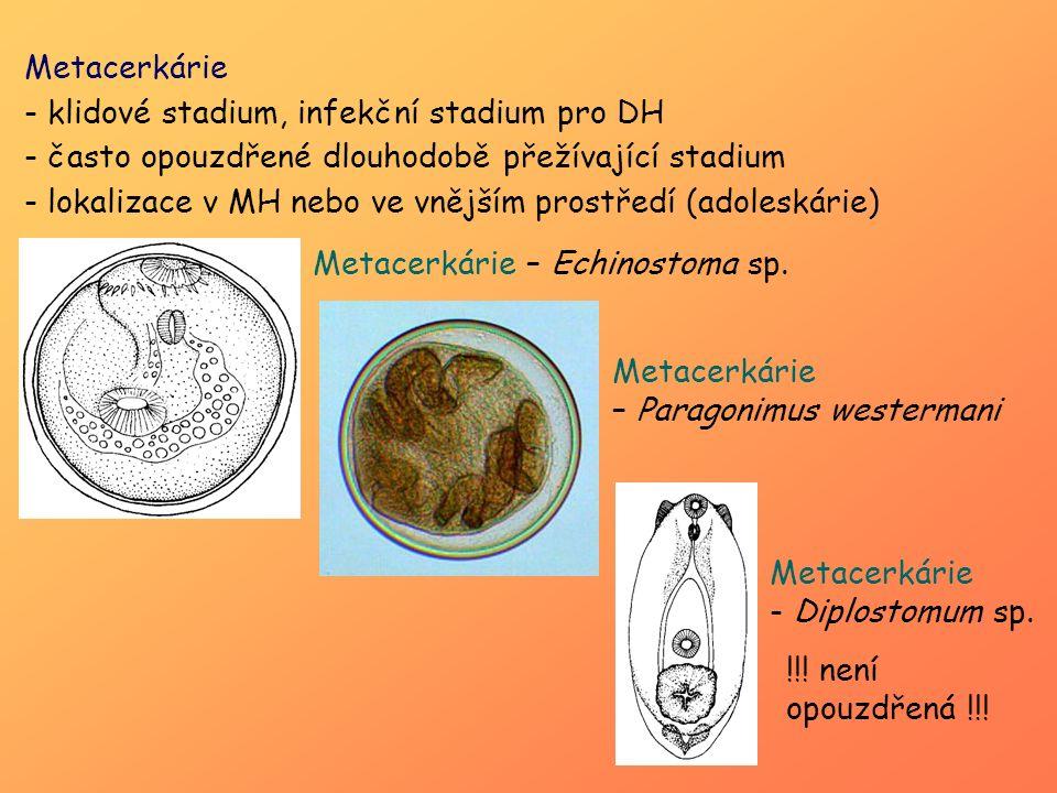 Metacerkárie klidové stadium, infekční stadium pro DH. často opouzdřené dlouhodobě přežívající stadium.