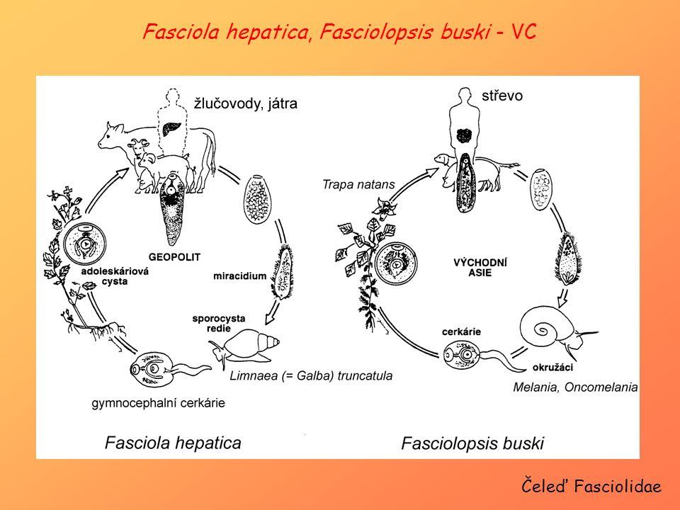 Fasciola hepatica, Fasciolopsis buski - VC