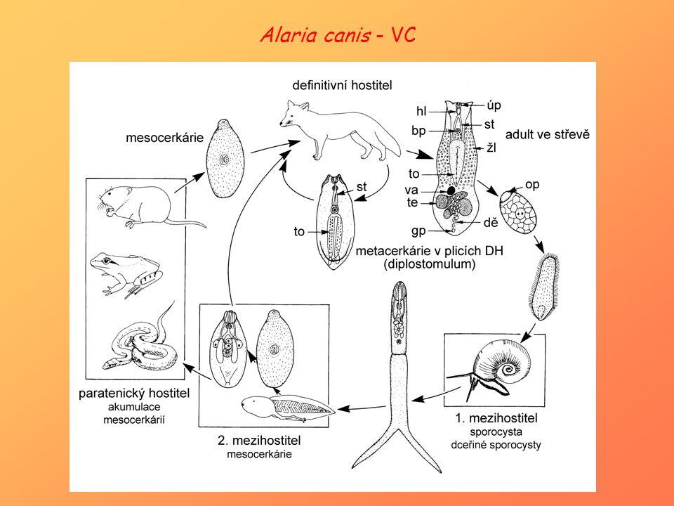 Alaria canis - VC