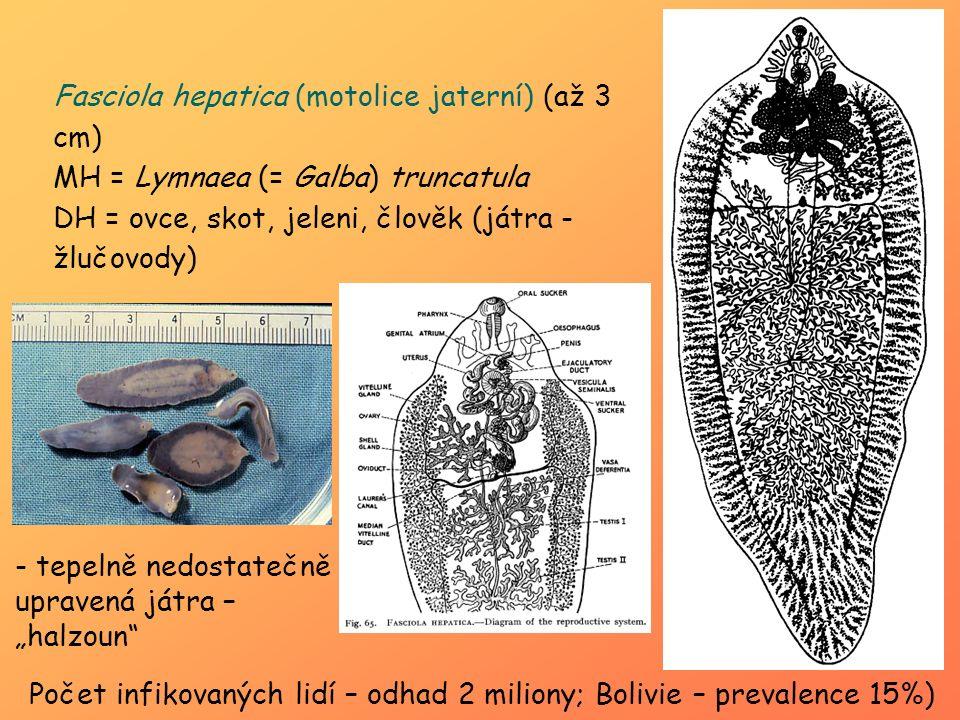 Fasciola hepatica (motolice jaterní) (až 3 cm)