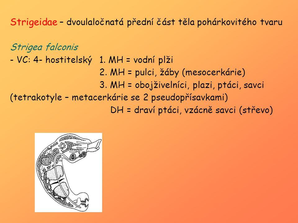 Strigeidae – dvoulaločnatá přední část těla pohárkovitého tvaru