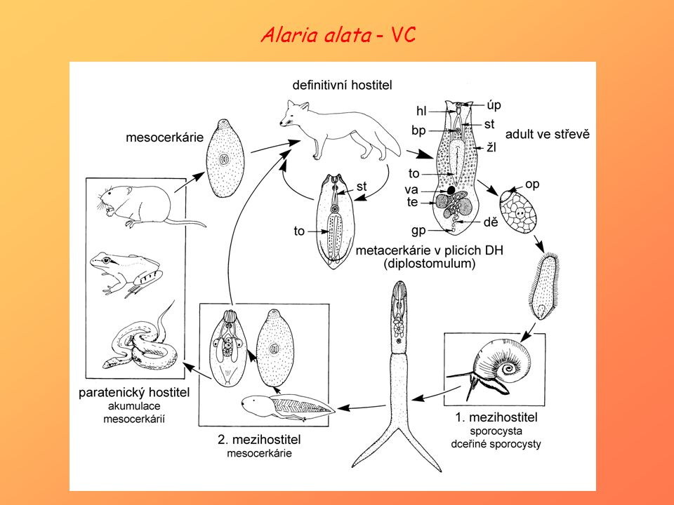 Alaria alata - VC