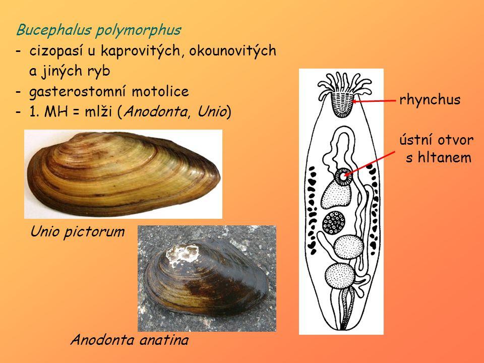 Bucephalus polymorphus