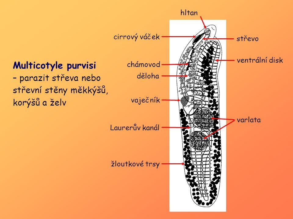 varlata žloutkové trsy. Laurerův kanál. vaječník. ventrální disk. střevo. hltan. cirrový váček.