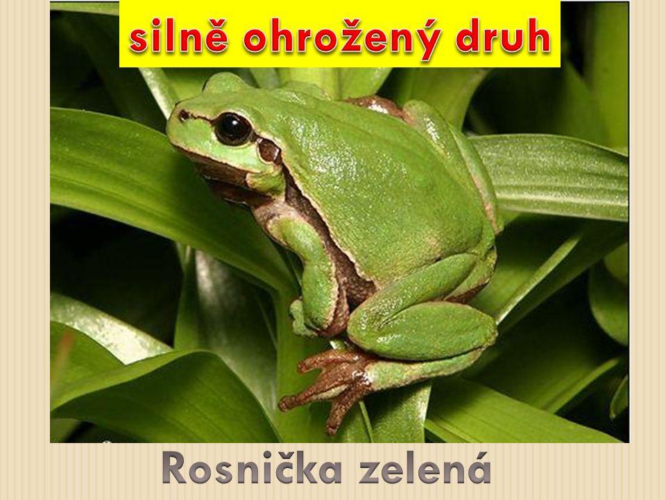 silně ohrožený druh Rosnička zelená