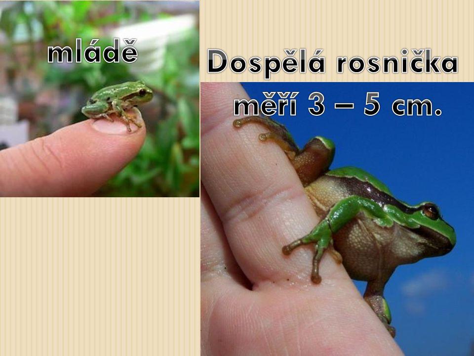 Dospělá rosnička měří 3 – 5 cm.