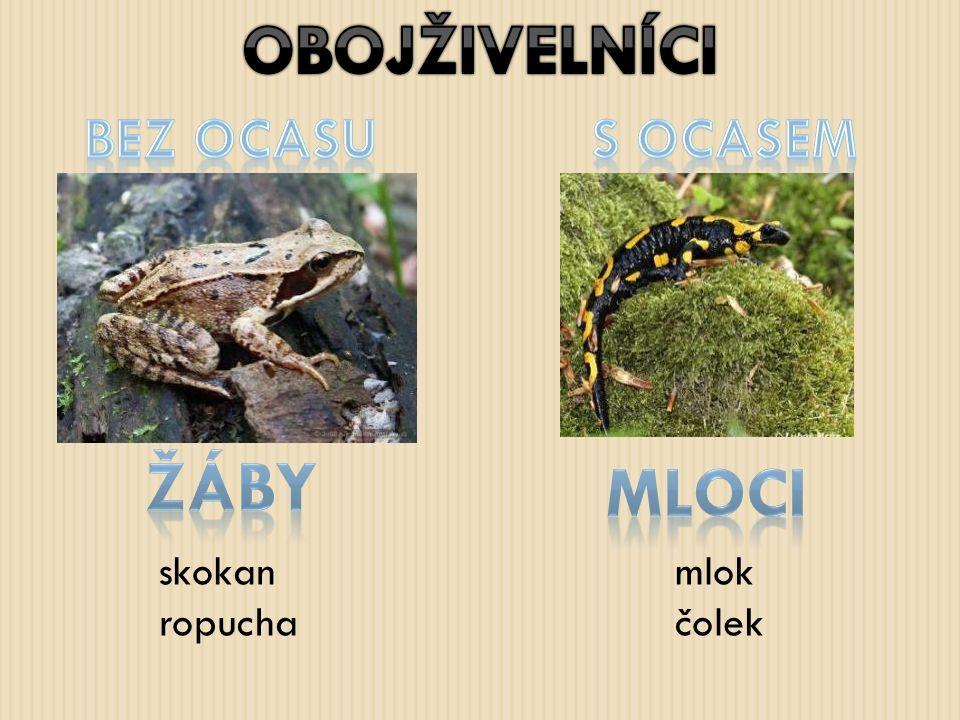 OBOJŽIVELNÍCI žáby mloci